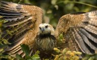 Amazing Birds Of Prey 14 Free Wallpaper