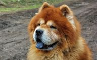 Chowchow 2 Cool Wallpaper