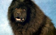 Chowchow 20 High Resolution Wallpaper