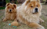 Chowchow 24 Widescreen Wallpaper