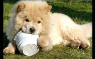 Chowchow 29 Free Wallpaper