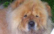 Chowchow 30 Background Wallpaper