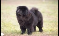 Chowchow 33 Desktop Background
