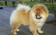 Chowchow 6 Wide Wallpaper