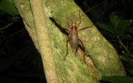 Little Barrier Island Giant Weta 29 Desktop Wallpaper