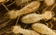 Termites In Arizona 8 Cool Wallpaper