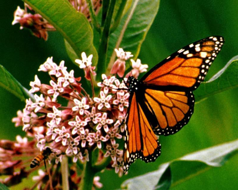Are Butterflies Animals 20 Cool Wallpaper
