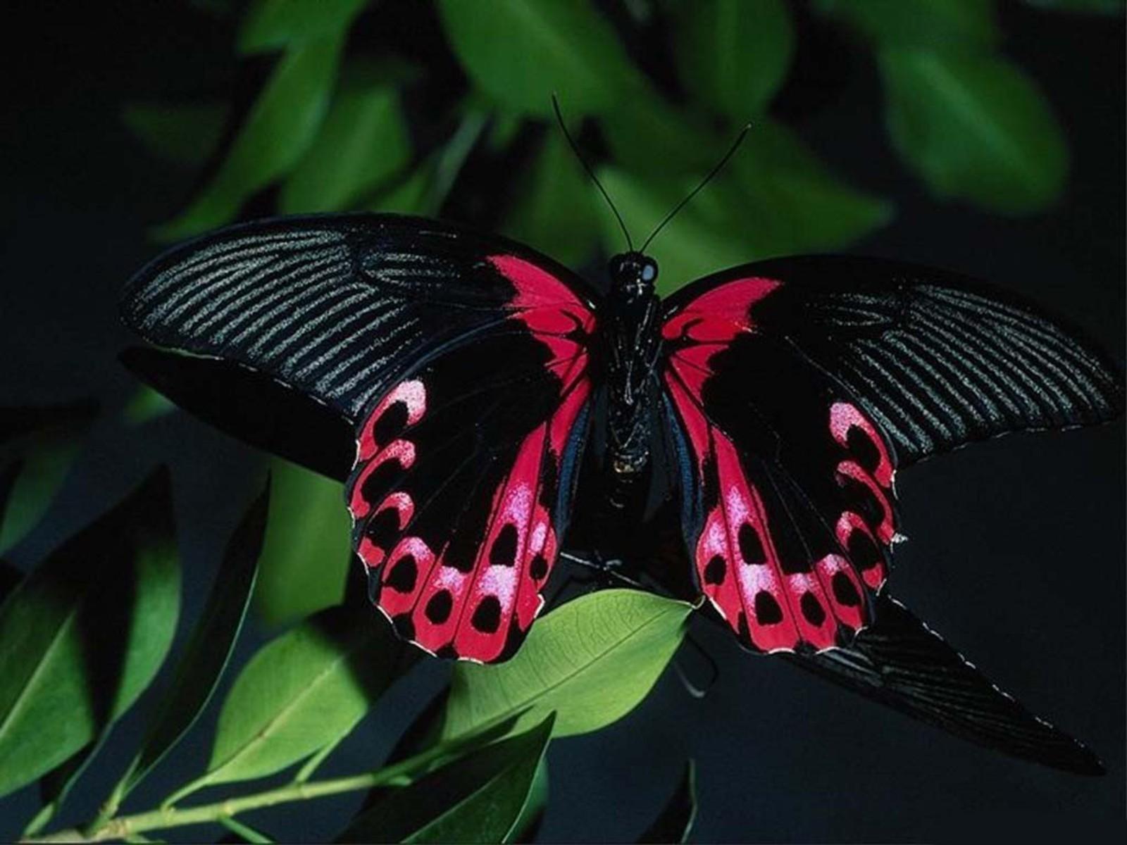 Are Butterflies Animals 32 Desktop Wallpaper