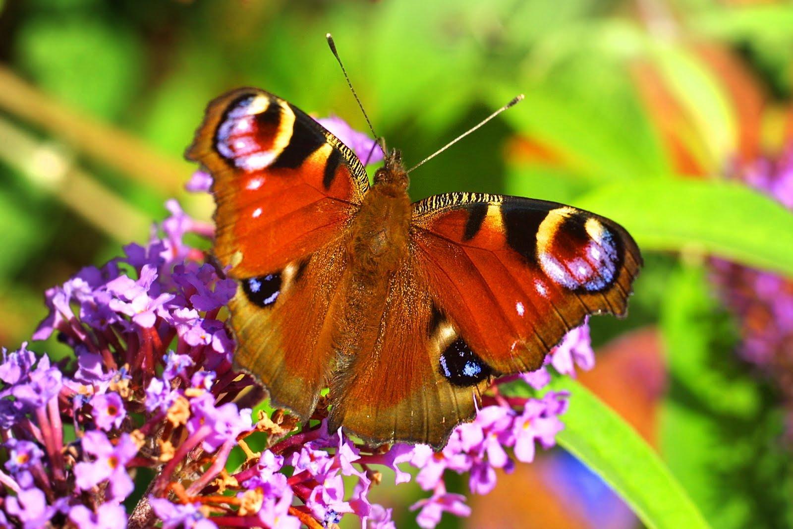 Are Butterflies Animals 34 Free Hd Wallpaper